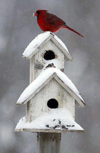 cardinal on house.jpg